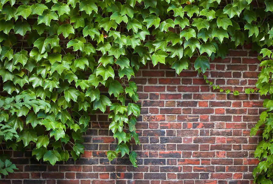What is Ivy Leaf and how can it help my cough?